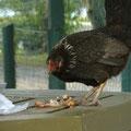 Also doch Kanibalen auf Cook Island: chicken eats chicken