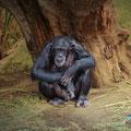Gorila. Bioparc Valencia. Fotografia Andreu Gual