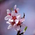Flor d'atmeller Fotografia Andreu Gual