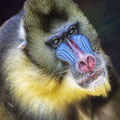 Macaco Zoo Fotografia Andreu Gual