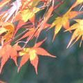 朝陽をあびた葉が美しい・・・♪