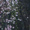 4/24・・・今はもう桜も桃も梅ももみじも葉が茂っておりますが桜の若木の花を見てあげてくだされ♪
