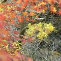 萩の葉が黄色く染まる・・・♪