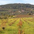 """Viñedos de los afamados vinos de """"Pitarra"""" de Salvatierra."""