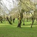 Alameda de fresnos, verdes en invierno y verano. Muy abundantes en Salvatierra.