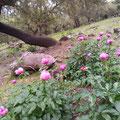 Las peonías salvajes abundan en las dehesas salvaterrenses, en microclímas especiales, y zonas bien conservadas.