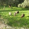 Observar los cerdos ibéricos en las dehesas.