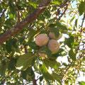 """La fruta tradicional es de magníficos sabores. Aquí los """"bruños"""" (ciruelas claudias)"""