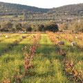 Ovejas, (aquí entre viñas)