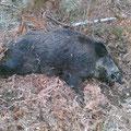 Un sanglier retrouvé, largement plus de 100 kg !