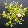 Eucalyptus blühend