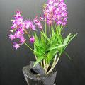 Dendrobium Lila