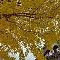 鶴来別院の銀杏