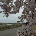 手取川の桜