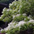白山比咩神社 なんじゃもんじゃの木 5月下旬