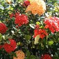 日本のあじさいみたいなお花の形ですが、、、親戚でしょうか?