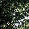 中庭を覆う樹々。木漏れ日が美しかったなぁ。。。 パンデイロを叩きながら上を見上げ、目をつぶって....大合奏に包まれる幸せ。 何とも言えない幸福感。