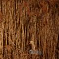 Cygne tuberculé au nid - Etang de Satenay - Gevrey Chambertin - Mars 2016 © Florian Bernier