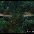 Girelle commune femelle et girelle paon femelle  - PN de Port Cros - Juin13 © Florian Bernier