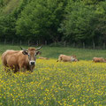 Vache partenaise - Deux-Sèvres - 2009 © Florian Bernier