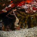 Crabe flèche mangeant un hippocampe  - Canaries Oct 2014 © Florian Bernier