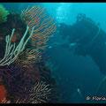 Gorgones multicolores  - PN de Port Cros - Juin13 © Florian Bernier