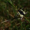 Ascalaphe soufré - Combe de Fixin - Juin 13 © Florian Bernier