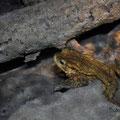 Crapaud commun mâle - Val Suzon - Mars 2012 © Florian Bernier