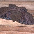 Papillon nocturne géant - Septembre 09 © Florian Bernier