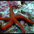 Etoile de mer rouge  - Archipel de Riou - Mai 13 © Florian Bernier