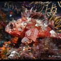 Petite rascasse rouge  - Archipel de Riou - Mai 13 © Florian Bernier