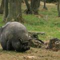 Cochon Vietnamien - Planète Sauvage - Juillet 09 © Florian Bernier