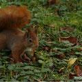 Ecureuil roux - Parc de la Colombière Dijon - Nov 13 © Florian Bernier