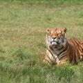 Tigre du Bengale - Planète Sauvage - juillet 09 © Florian Bernier