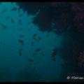 Tombant recouvert de gorgones pourpres  - PN de Port Cros - Juin13 © Florian Bernier
