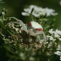 Araignée Crabe - La Pagerie - Juin 09 © Florian Bernier