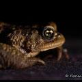 Crapaud commun mâle - Val Suzon - Mars 2013 © Florian Bernier