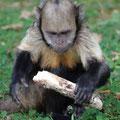 Capucin à poitrine jaune - Vallée des Singes - Aout 11- © Florian Bernier