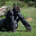 Gorilles des plaines - Vallée des Singes - Aout 11- © Florian Bernier