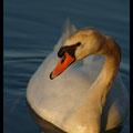 Cygne tuberculé - Lac Kir Dijon -  07juin13 © Florian Bernier
