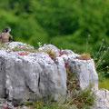Faucon pélerin juvénile - Combe Brochon - Mai15 © Florian Bernier