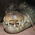 Alligator du Mississipi - Planète Sauvage - Juillet 09 © Florian Bernier