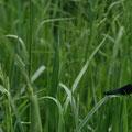 Calopteryx splendens male - La Pagerie - Mai 09 © Florian Bernier