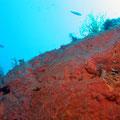 Eponge encroutante rouge-orange Crambe crambe  - Cadaquès - Juin 12  © Florian Bernier
