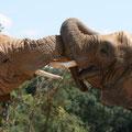 Eléphant d'Afrique - Planète Sauvage - Juillet 09 © Florian Bernier