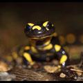 Salamandre Tachetée - Val Suzon - Mars 2013 © Florian Bernie