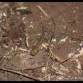 Larve de Salamandre Tachetée - Val Suzon - Mars 2013 © Florian Bernier
