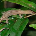 gecko nocturne - Septembre 09 © Florian Bernier