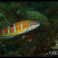 Girelle paon femelle  - PN de Port Cros - Juin13 © Florian Bernier