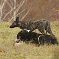 Susi und im Hintergrund der heranpirschende Herder